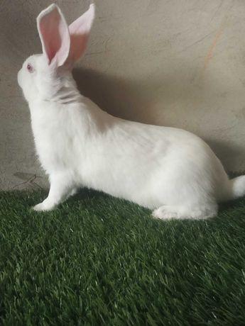 Продаються кролики:  білі панони, термонці.