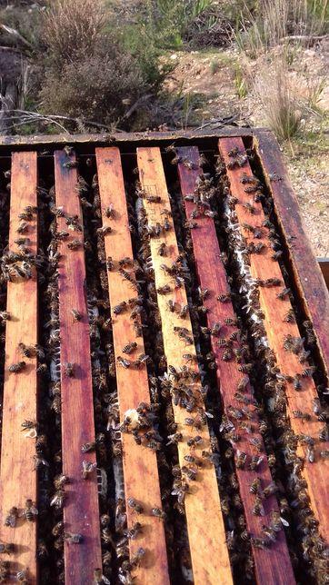 Enxames abelhas