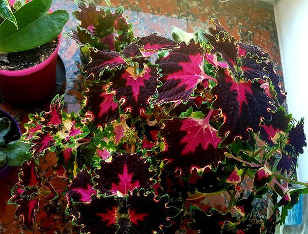 Колеус 4-колірний свіжозрізані укорінені, вазон в горщику на подарунок