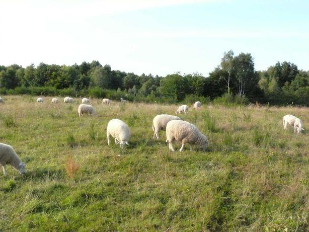 Jagnięta Owca Pomorska owieczki 37 szt.
