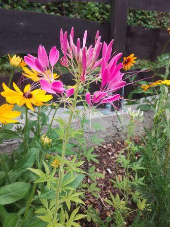 Kleome różowa nasiona