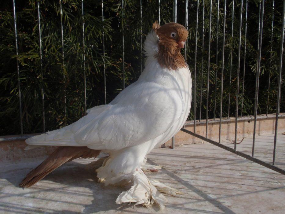 Barwnogłówka, Barwnogłówki Królewieckie - gołębie ozdobne .