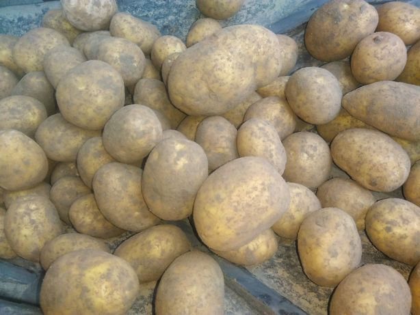 Ziemniaki od Producenta Gala, Vineta, Lord, denar