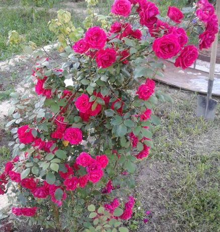 Роза плетистая красная Байкал молодые саженцы