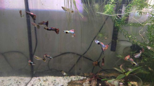 Продам рыбок Гуппи зелёная кобра