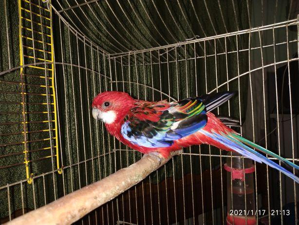 Продам папугу Розелла