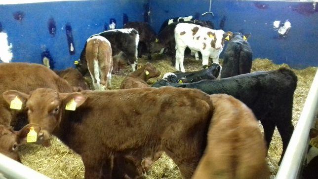Cielaczki byczki i jałówki różne tanio, jakość mięsna i mleczna, trans