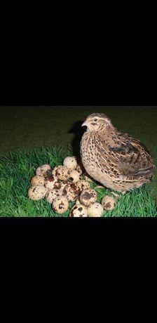 Продам перепелині інкубаційні яйця