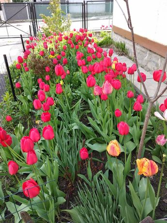 Цибулини голландських червоних тюльпанів
