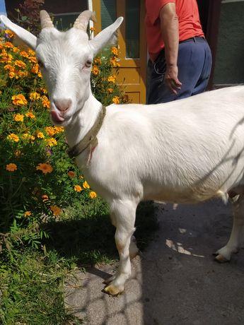 Зааненская коза продам
