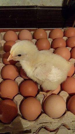 Цыплёнок суточный утка мулард гусята бройлер