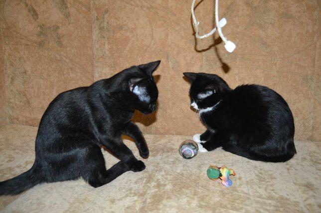 Бархатные котята в добрые руки, 4 месяца, квартирные