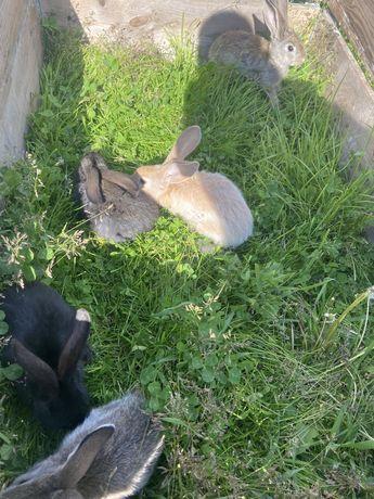 Młode króliki
