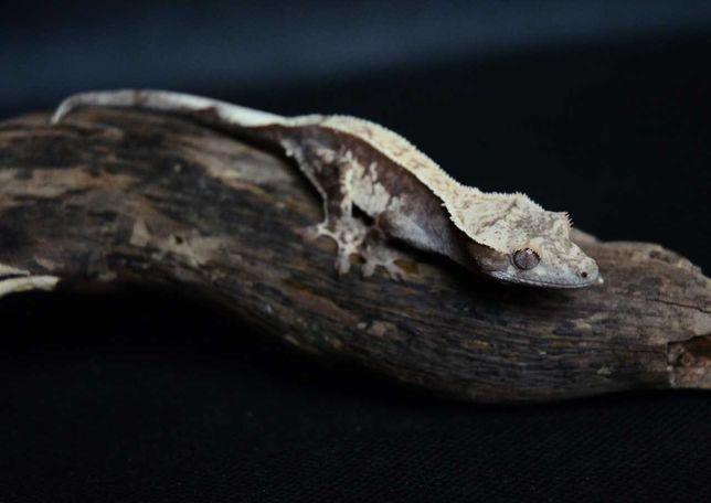 Gekon orzęsiony, gekony orzęsione Correlophus ciliatus jaszczurka gad