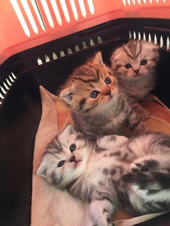 Кошенята висловухі шотландські чистопородні котик прямовухий