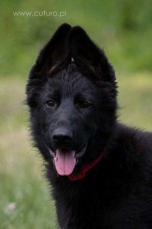 Owczarek Niemiecki rodowód ZKwP FCI krótkowłosy pies