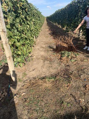 Лоза виноградная элитных сортов винограда