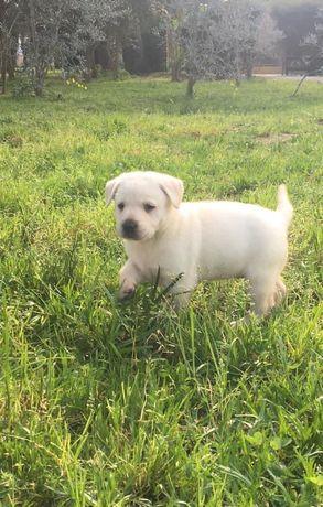 Labrador Retriever Puro lindo
