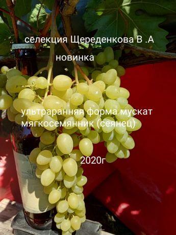 Саженцы новейших сортов винограда