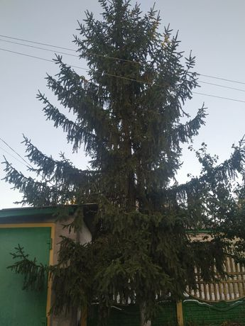 ЁЛКА 8 м., продам живую ёлку к Новому году.