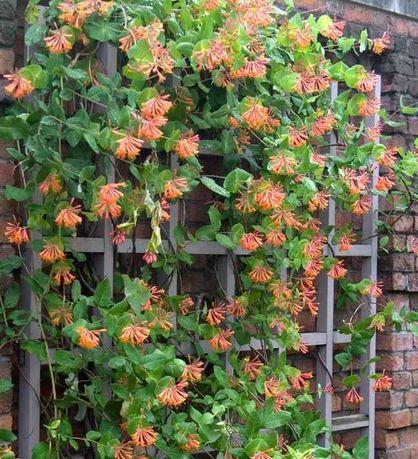 Жимолость Брауна – яркая зимостойкая лиана цветущая всё лето.