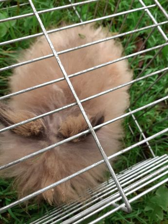 Karzełek teddy królik miniaturka