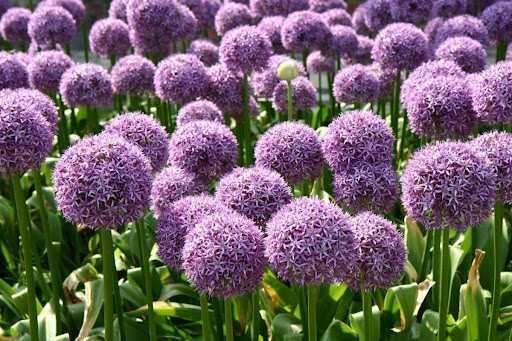 Kwiat Czosnek - Cebulki