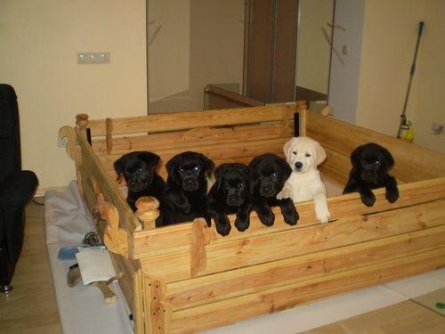 Лабрики щенки