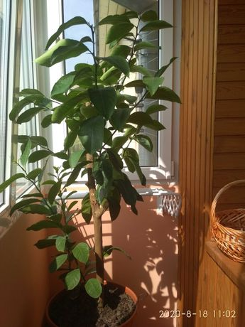 Лимон, кімнатне дерево
