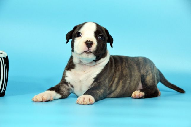 American Staffordshire Terrier (девочка)