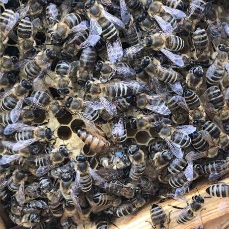 Пчеломатка Карпатка Репродуктивная.