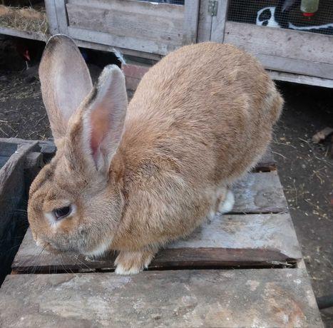 Tuszka królika 50-60 zł