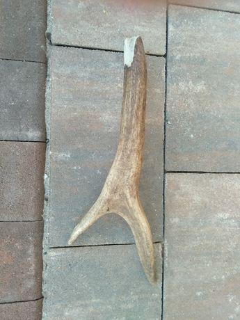 Poroże jelenia 30 cm