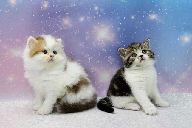 Очень хорошие породистые прямоухие котята