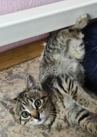 Котенок, мальчик, 2.5 мес