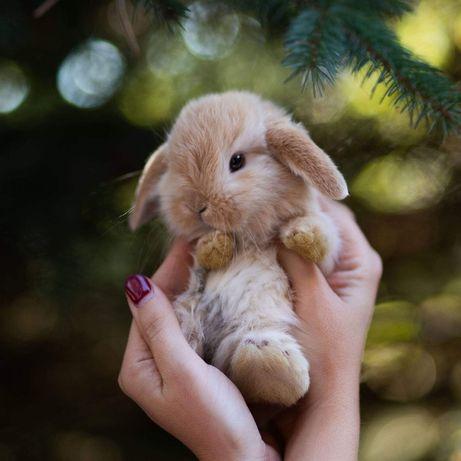 Mini lop mini lopy prawdziwe uszate oswojone króliki miniaturowe