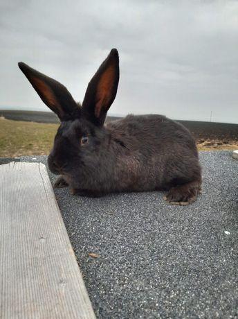 Sprzedam królika SAMICA