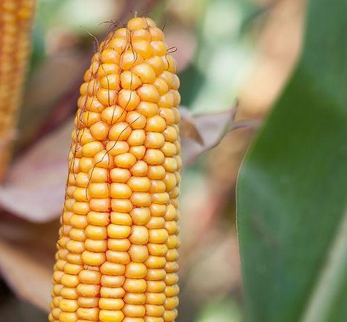 Nasiona kukurydzy Polskie odmiany