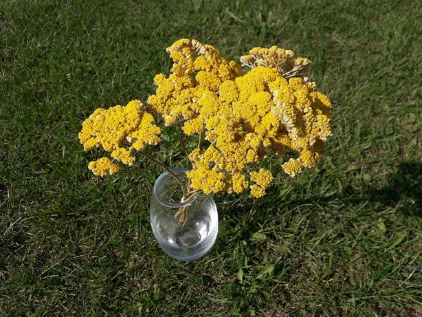Krwawnik, kwiaty suszone, wysyłka od 10 kg