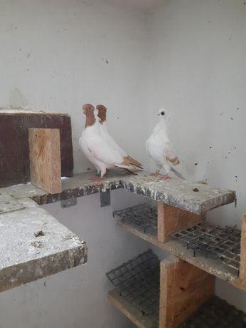 gołębie ozdobne zakonniki maściuchy mewka