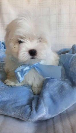 Mini Piesek Maltańczyk do 2,5kg. Śliczny czysto biały.