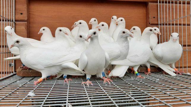 Ptaki gołębie pocztowe Białe młode 21r OKAZJA