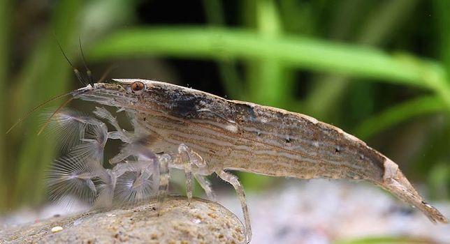 Atya Moluccensis Krewetka Filtrująca 4 cm Sklep Zoologiczna ALTUM