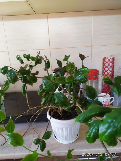 Переския шиповатая саженец листовой кактус