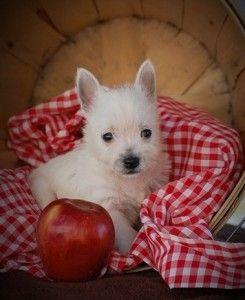 West Highland White Terrier z Rodowodem Piesek-odb. ok. 30.06