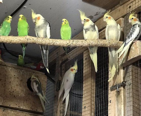 Продам папуг різних видів