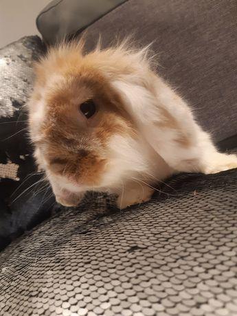 Królik baranek króliczek miniaturka