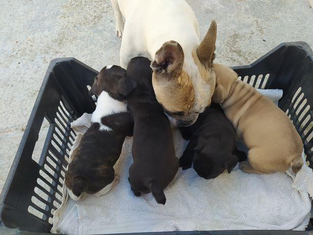 Bulldog francês ninhada