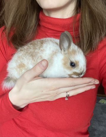 Декоративный кролик - девочка 1.5 мес.