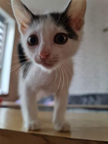 Okolo 3 miesięczna kotka